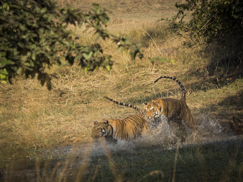 Tigers and water
