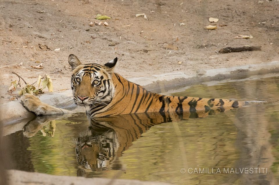 Of tigers and water