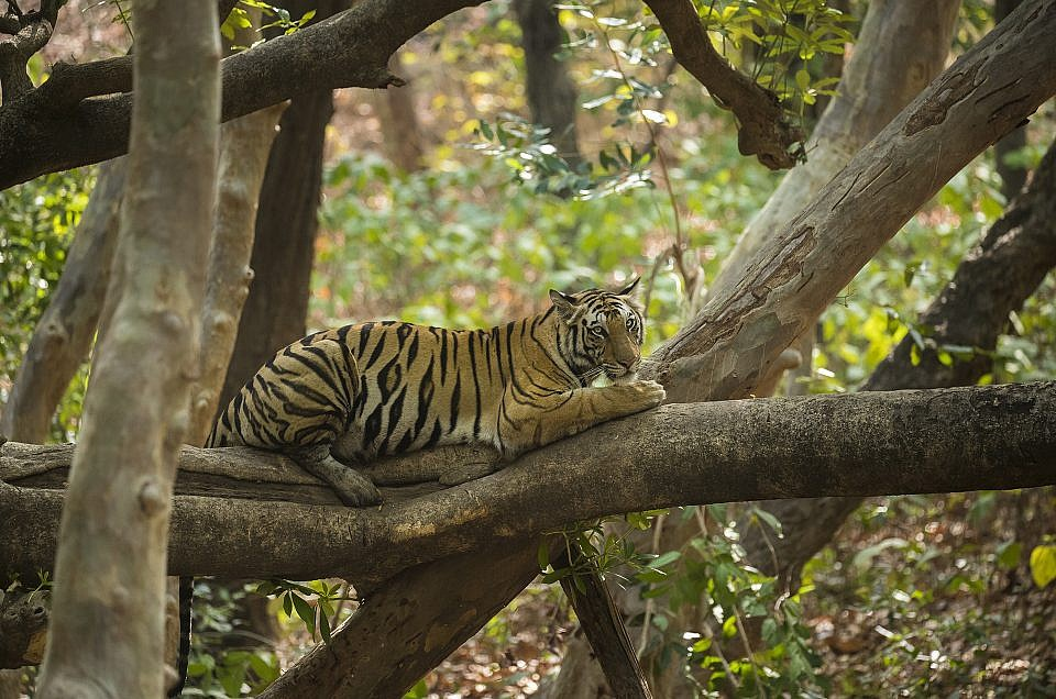 CONSERVATION GONE BAD ON FIRST OF ITS KIND TIGER RELOCATION