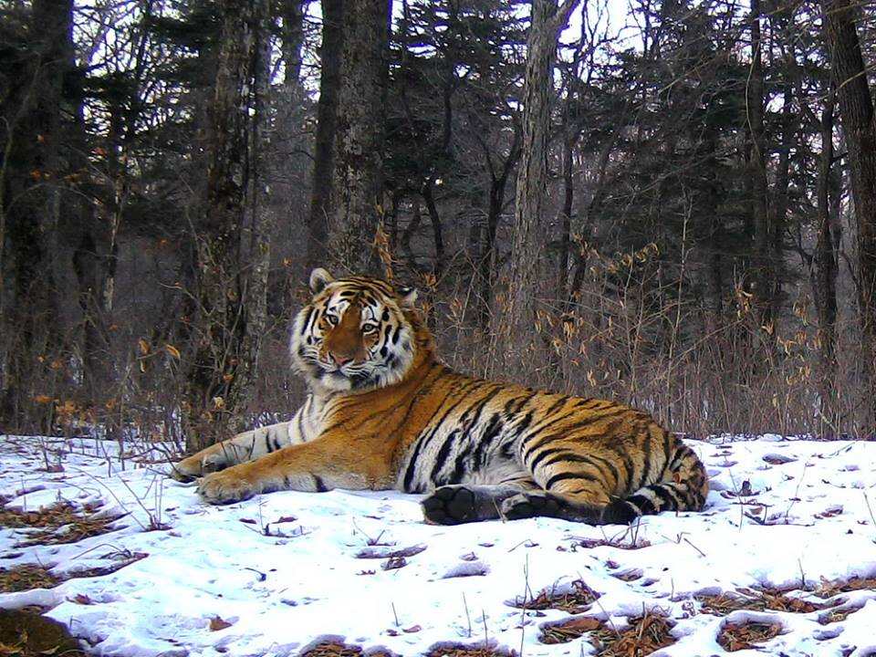 Is the Siberian tiger white ?