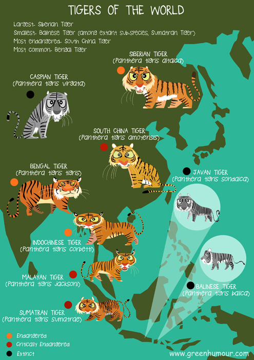 Different tiger subspecies