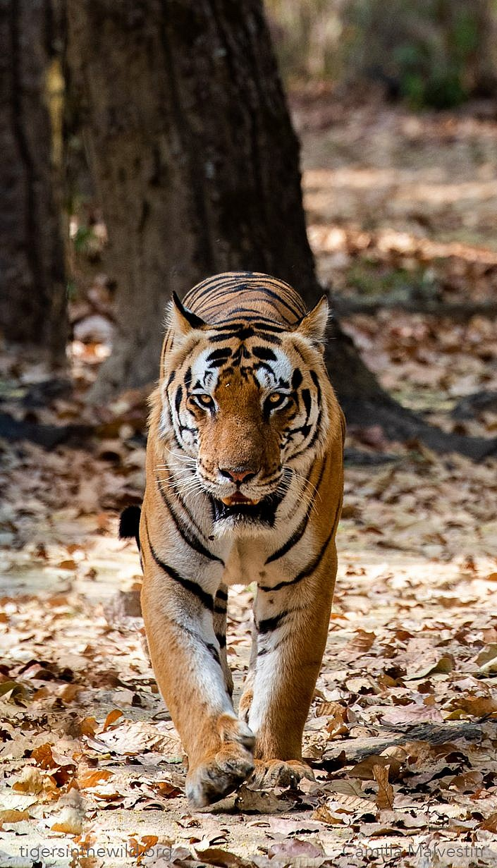 Tigers of Kanha