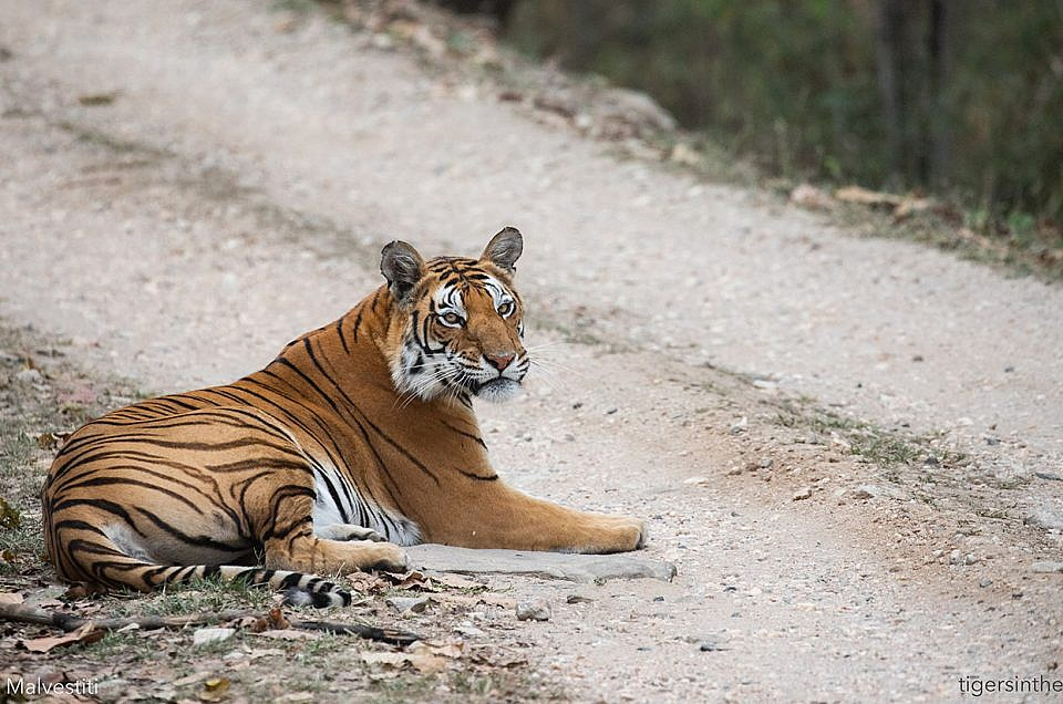 My tigers of Kanha