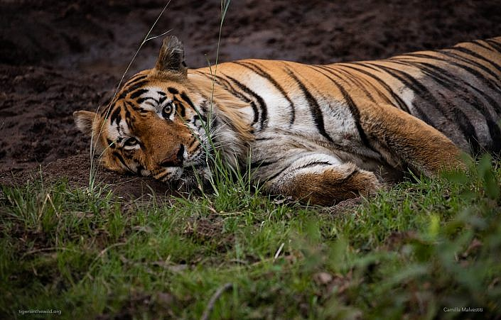 Indian Tiger Reserves on a budget