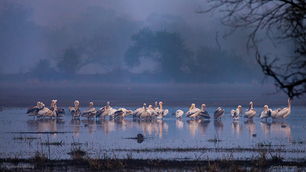 pelicans in Bharatpur Bird Sanctuary