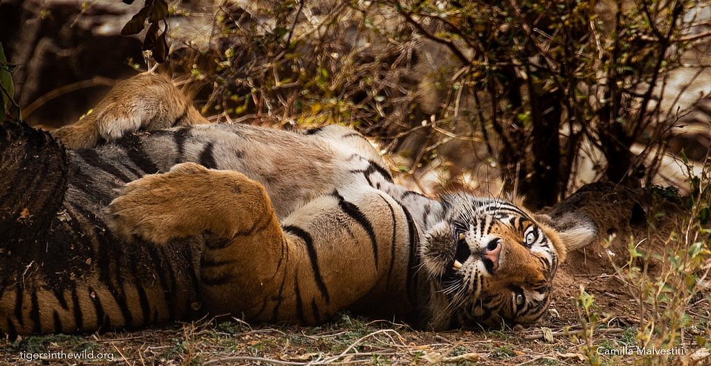 Best places to see tigers in the wild