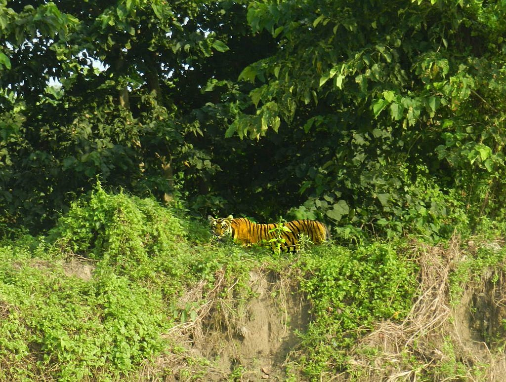 First Tiger Sighting
