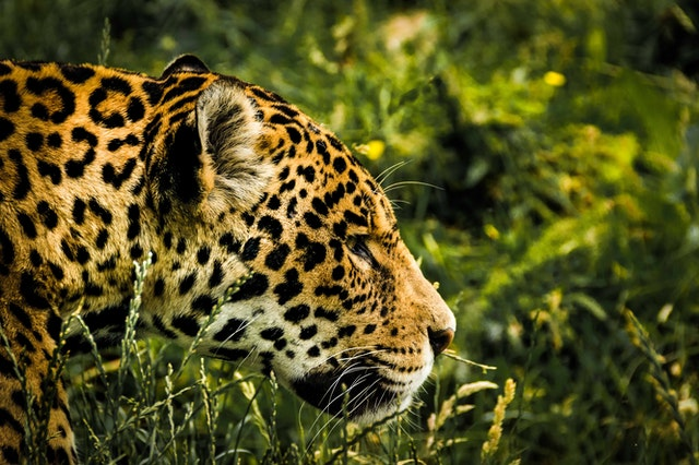 FIVE MOST ELUSIVE BIG CATS AND WHERE TO SEE THEM IN THE WILD
