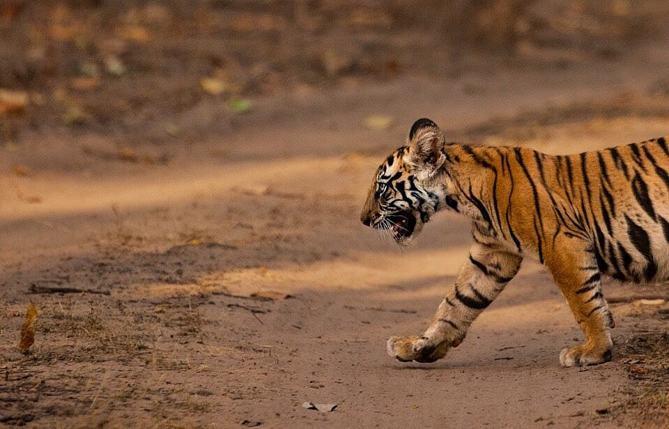 Tiger safari in India: what to expect